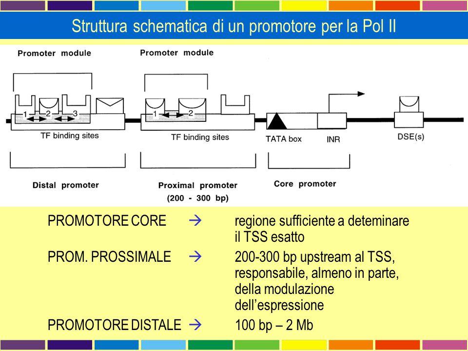 Struttura schematica di un promotore per la Pol II
