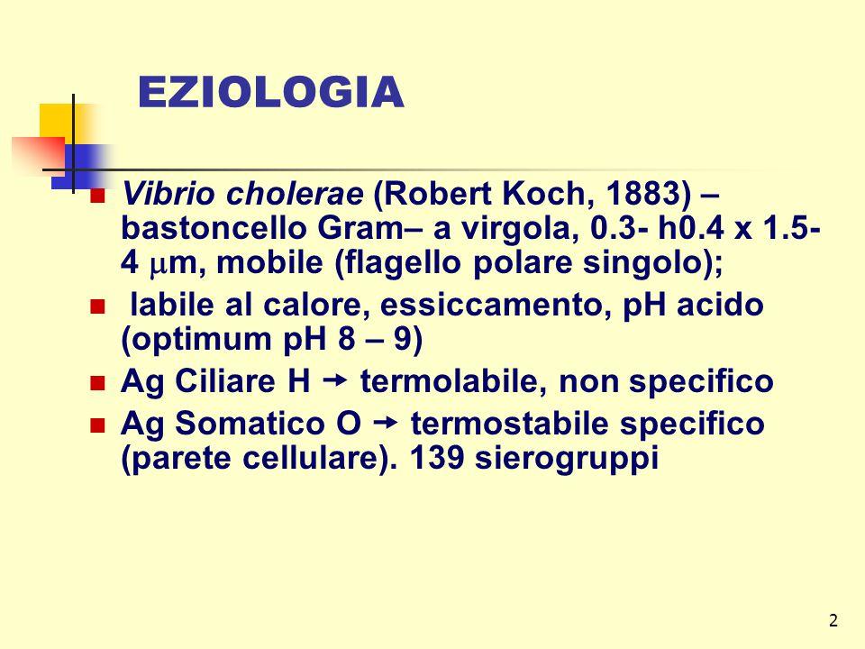 EZIOLOGIA Vibrio cholerae (Robert Koch, 1883) – bastoncello Gram– a virgola, 0.3- h0.4 x 1.5-4 m, mobile (flagello polare singolo);