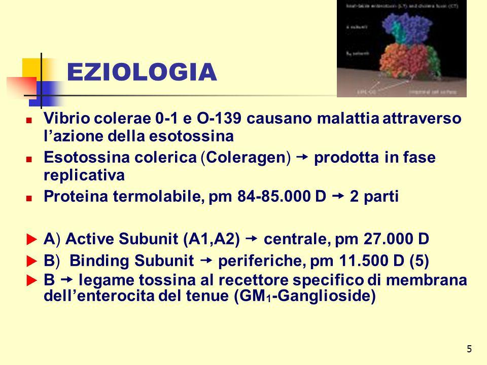 EZIOLOGIA Vibrio colerae 0-1 e O-139 causano malattia attraverso l'azione della esotossina.