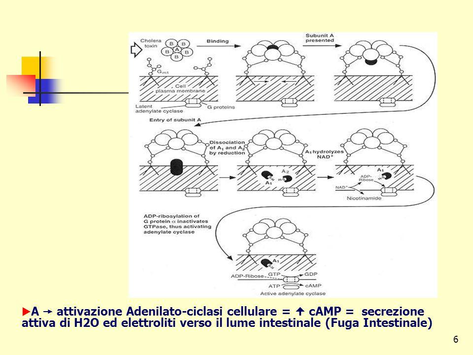 A  attivazione Adenilato-ciclasi cellulare =  cAMP = secrezione attiva di H2O ed elettroliti verso il lume intestinale (Fuga Intestinale)