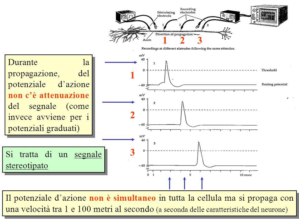 1 2. 3. Durante la propagazione, del potenziale d'azione non c'è attenuazione del segnale (come invece avviene per i potenziali graduati)