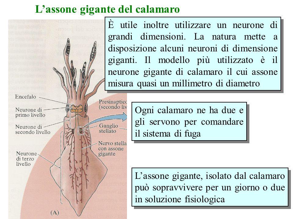 L'assone gigante del calamaro