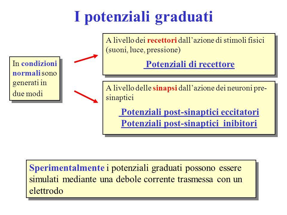 I potenziali graduati Potenziali di recettore