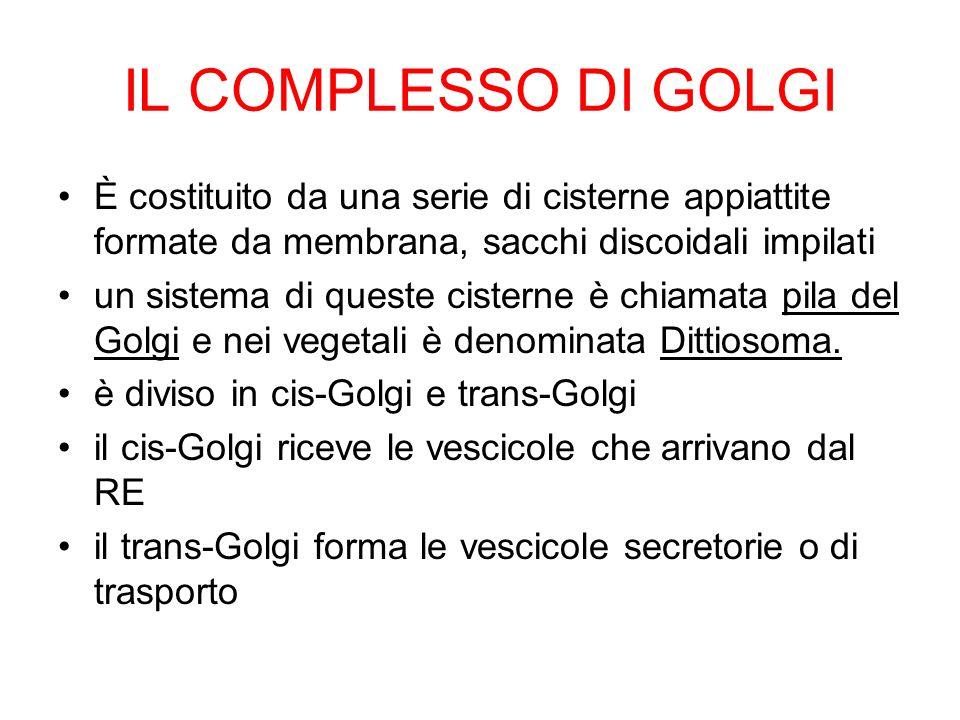 IL COMPLESSO DI GOLGI È costituito da una serie di cisterne appiattite formate da membrana, sacchi discoidali impilati.