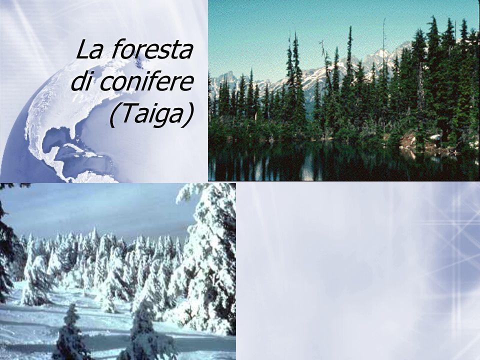 La foresta di conifere (Taiga)