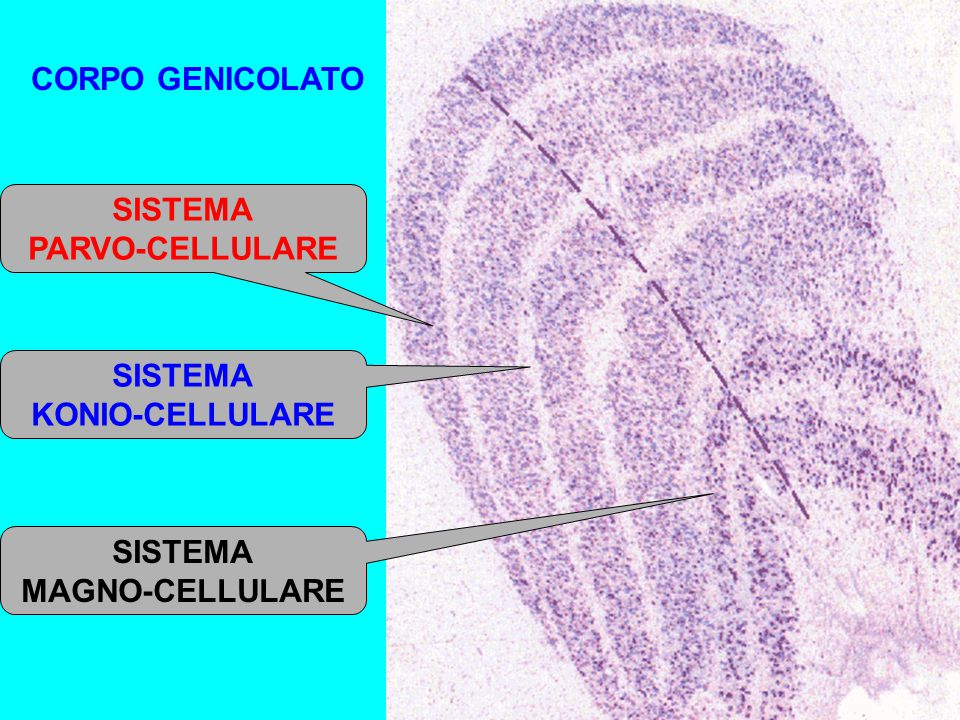 CORPO GENICOLATO SISTEMA PARVO-CELLULARE SISTEMA KONIO-CELLULARE SISTEMA MAGNO-CELLULARE