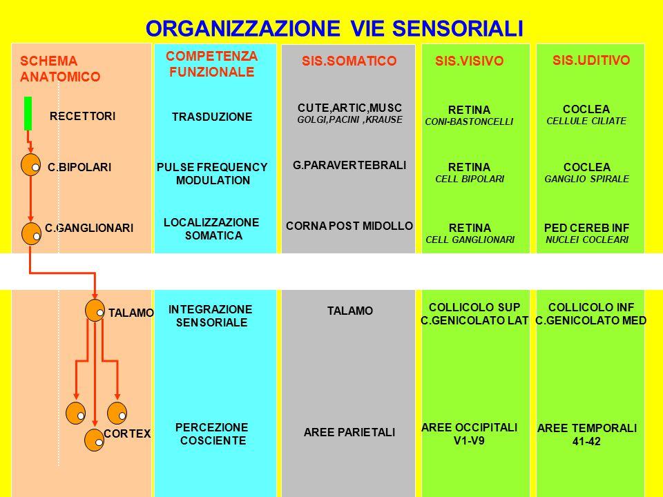 ORGANIZZAZIONE VIE SENSORIALI COMPETENZA FUNZIONALE