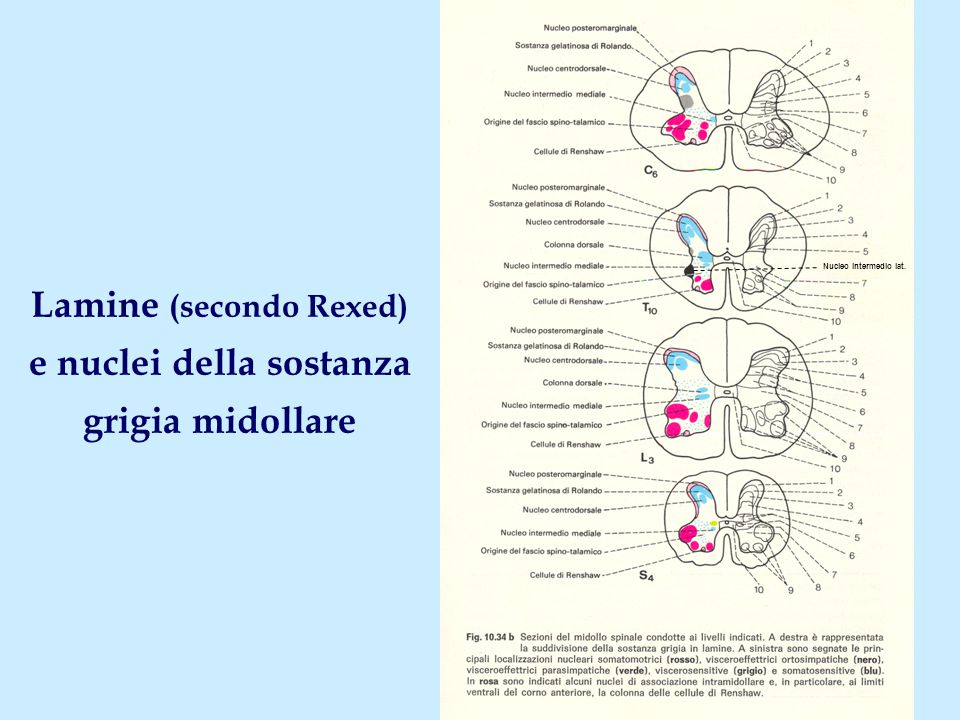 Lamine (secondo Rexed) e nuclei della sostanza grigia midollare