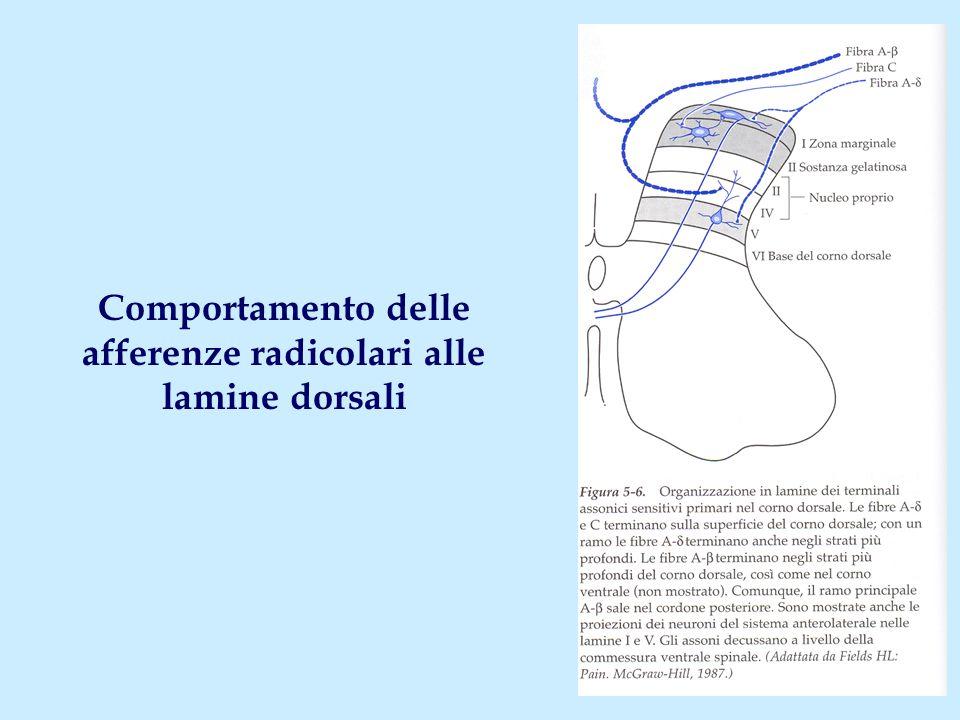 Comportamento delle afferenze radicolari alle lamine dorsali