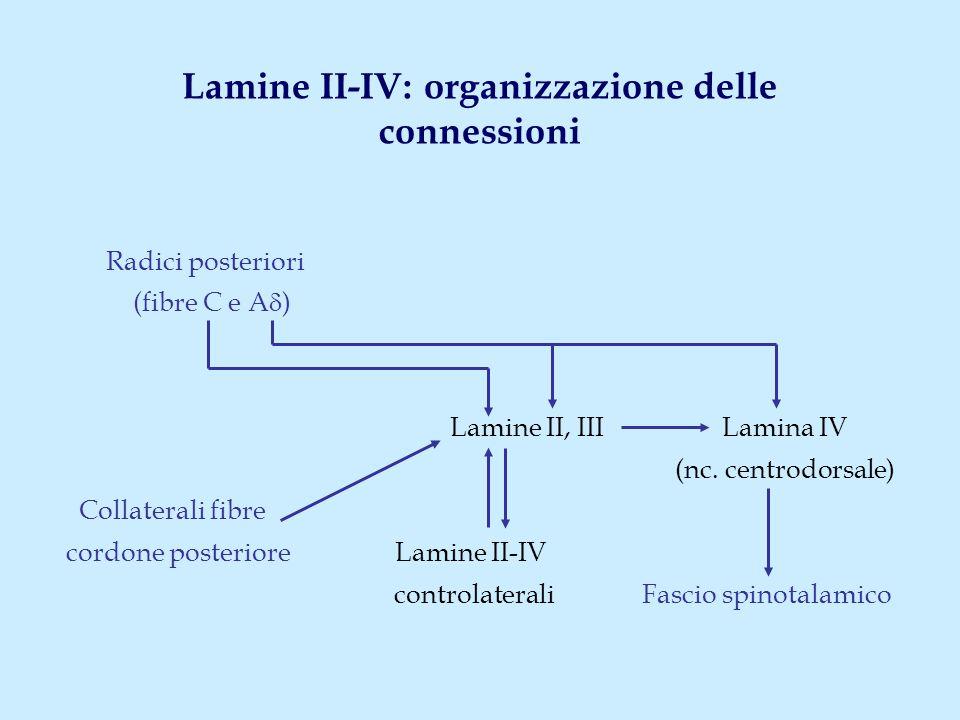 Lamine II-IV: organizzazione delle connessioni