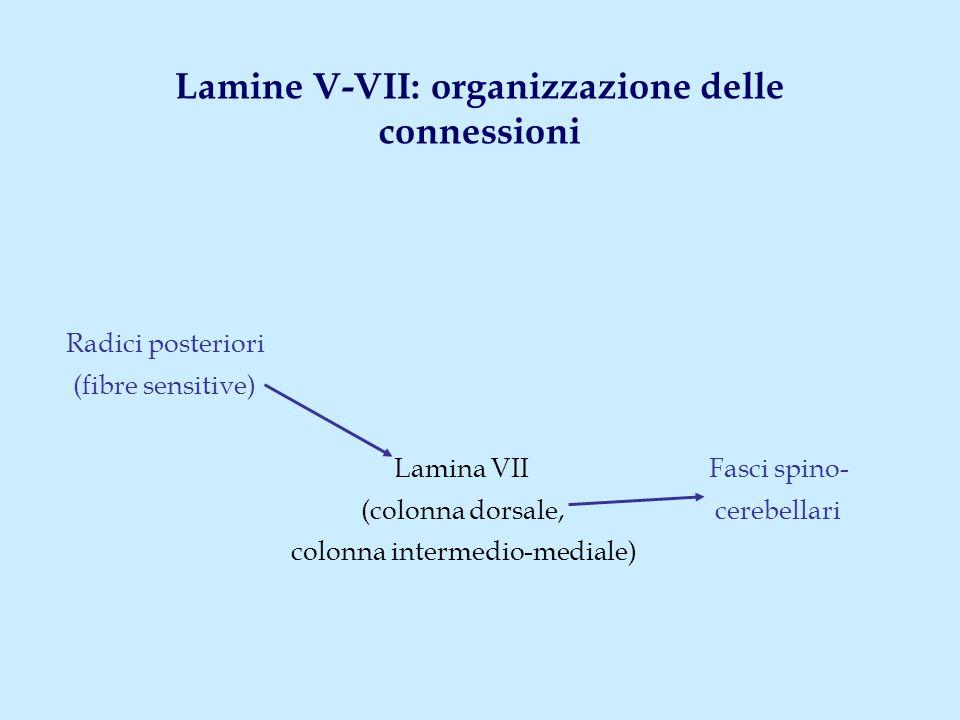 Lamine V-VII: organizzazione delle connessioni