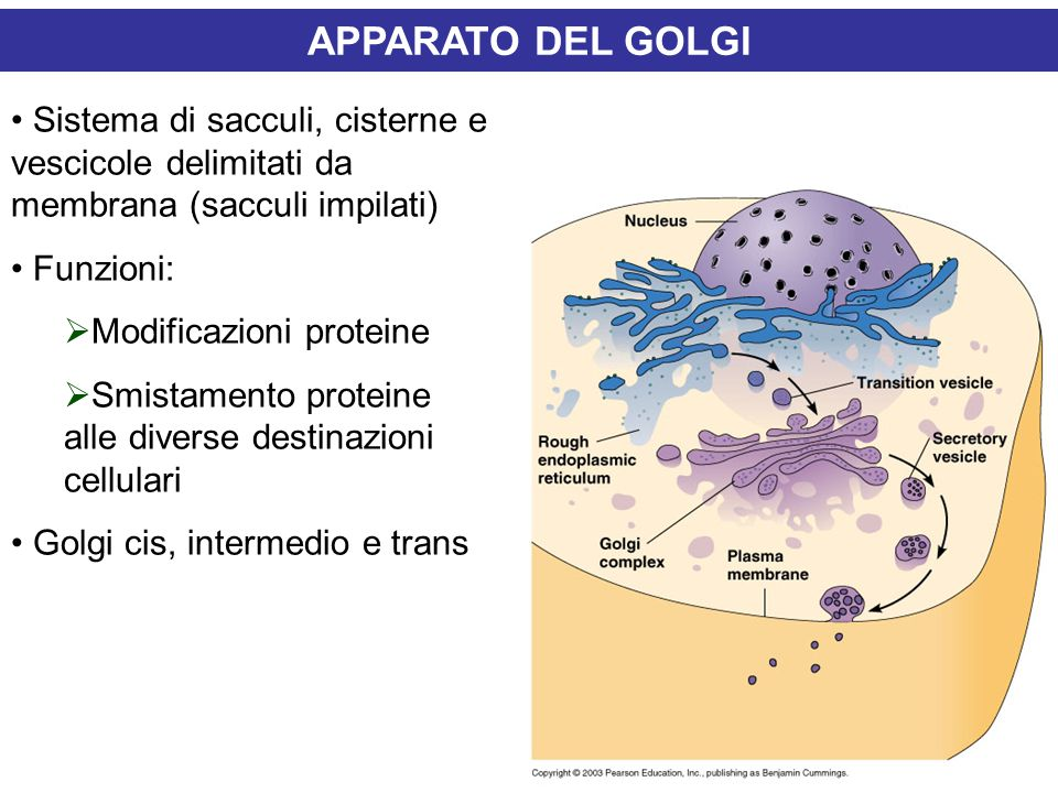 APPARATO DEL GOLGI Sistema di sacculi, cisterne e vescicole delimitati da membrana (sacculi impilati)