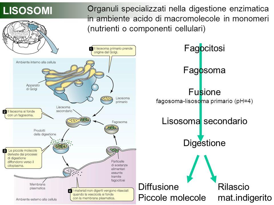 fagosoma-lisosoma primario (pH=4)