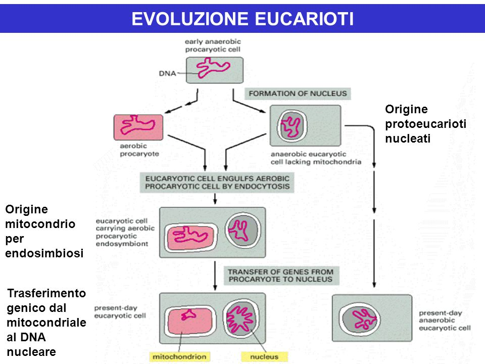 EVOLUZIONE EUCARIOTI Origine protoeucarioti nucleati