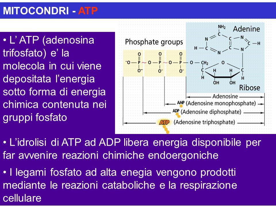 MITOCONDRI - ATP