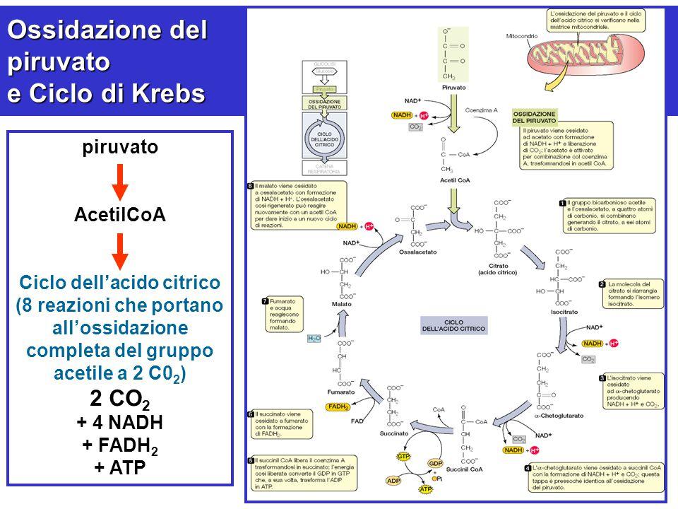 Ciclo dell'acido citrico