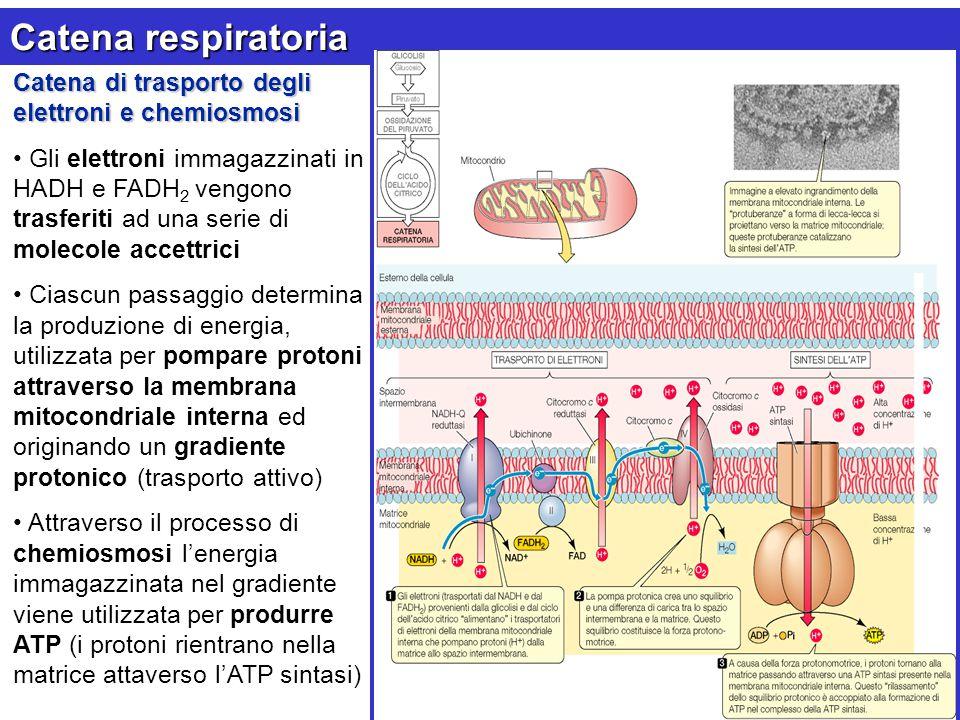 Catena respiratoria Catena di trasporto degli elettroni e chemiosmosi