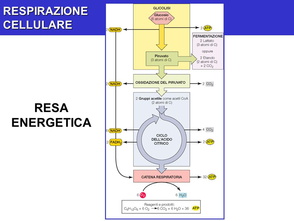 RESPIRAZIONE CELLULARE RESA ENERGETICA