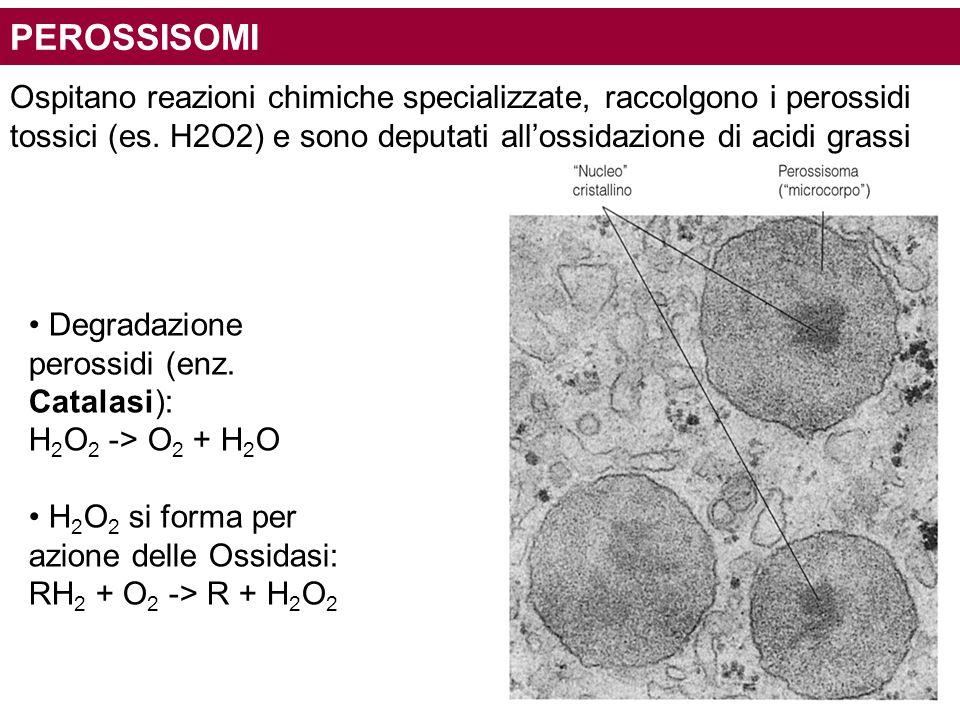 PEROSSISOMI Ospitano reazioni chimiche specializzate, raccolgono i perossidi. tossici (es. H2O2) e sono deputati all'ossidazione di acidi grassi.
