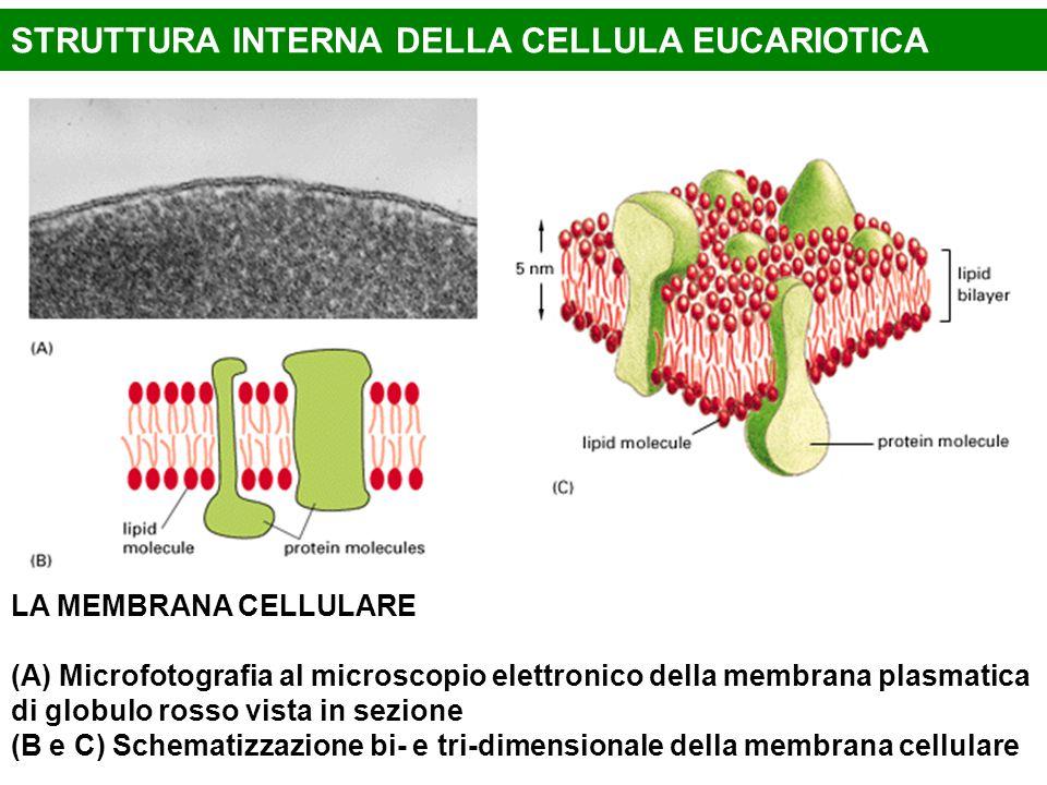 STRUTTURA INTERNA DELLA CELLULA EUCARIOTICA