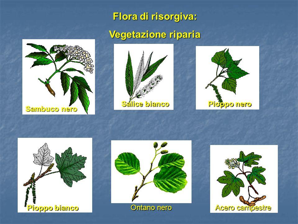 Flora di risorgiva: Vegetazione riparia