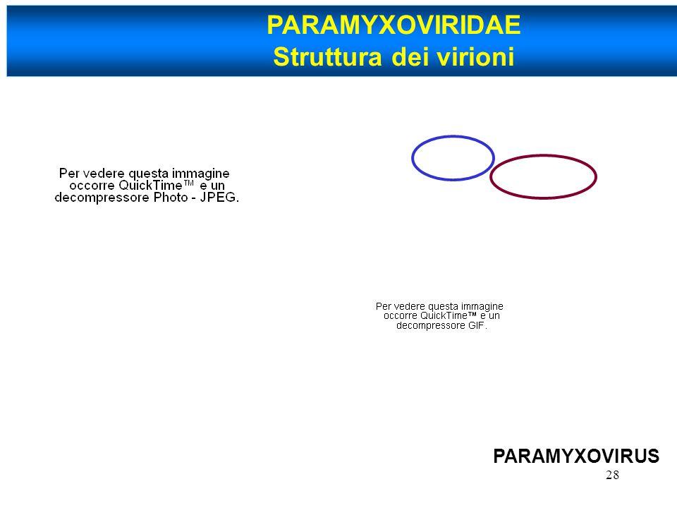 PARAMYXOVIRIDAE Struttura dei virioni PARAMYXOVIRUS