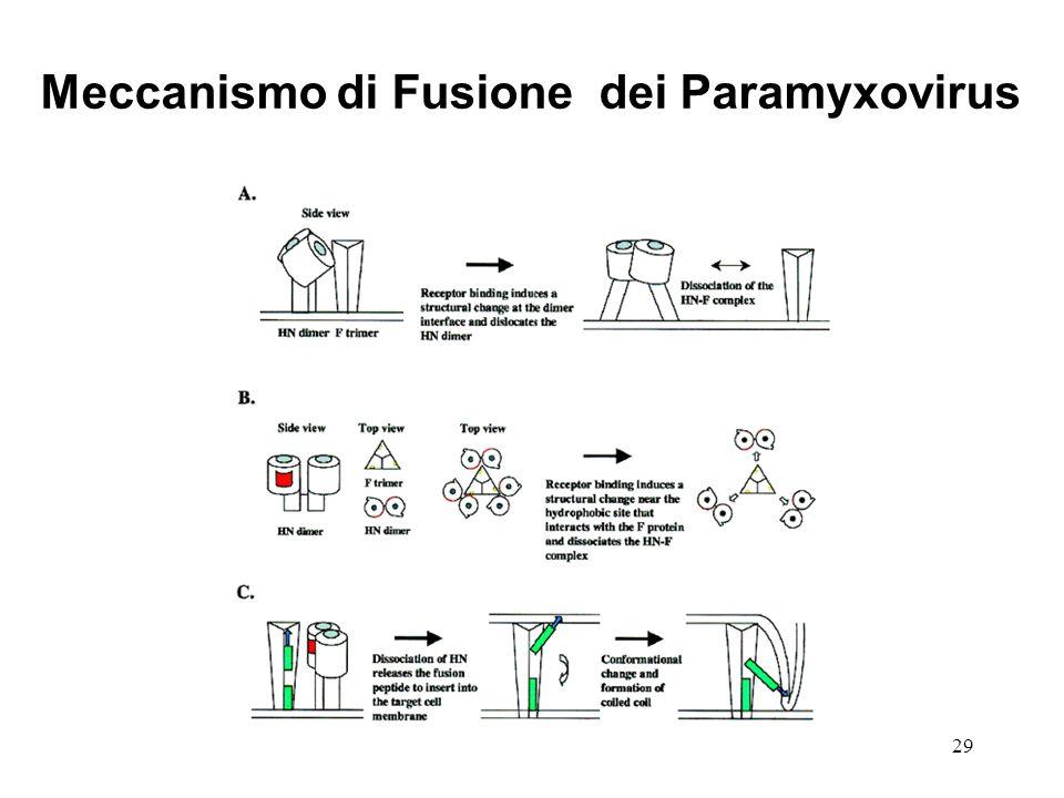 Meccanismo di Fusione dei Paramyxovirus