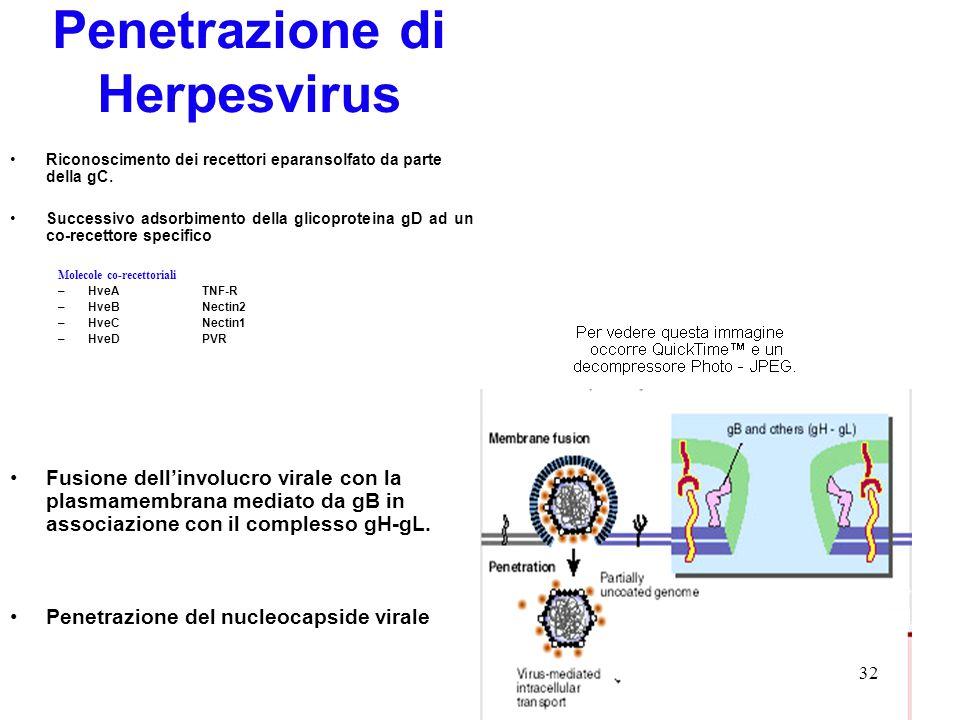Penetrazione di Herpesvirus