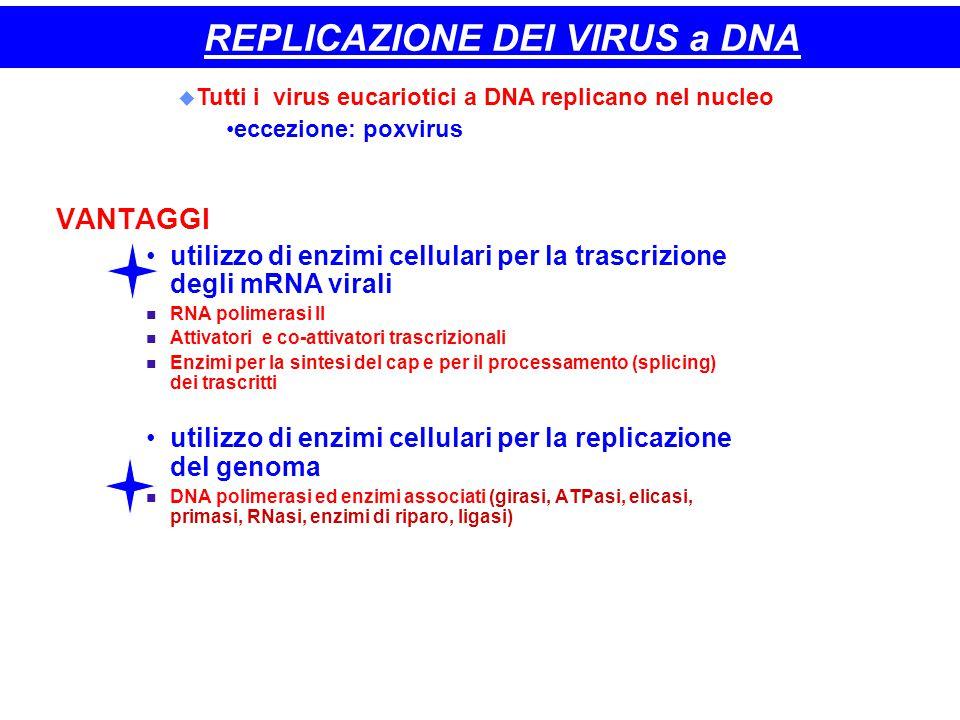 REPLICAZIONE DEI VIRUS a DNA