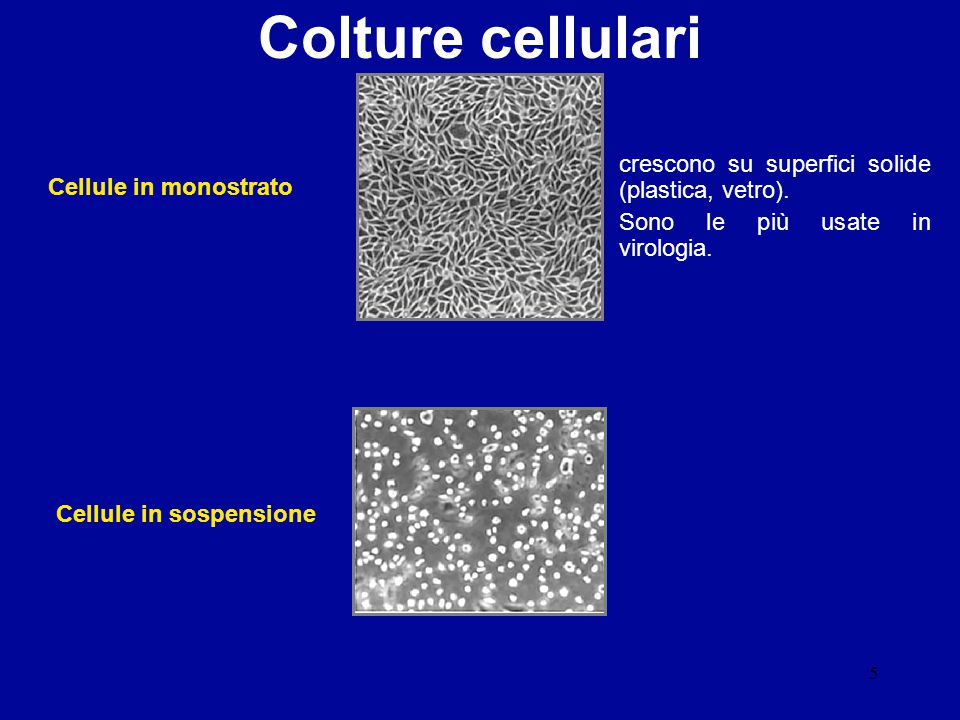 Colture cellulari crescono su superfici solide (plastica, vetro).