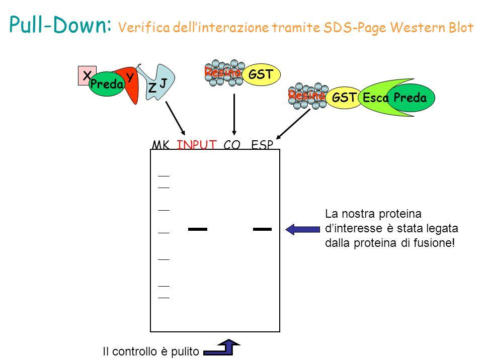Pull-Down: Verifica dell'interazione tramite SDS-Page Western Blot