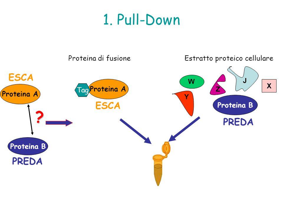 Estratto proteico cellulare