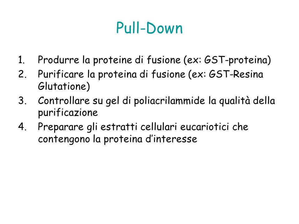 Pull-Down Produrre la proteine di fusione (ex: GST-proteina)