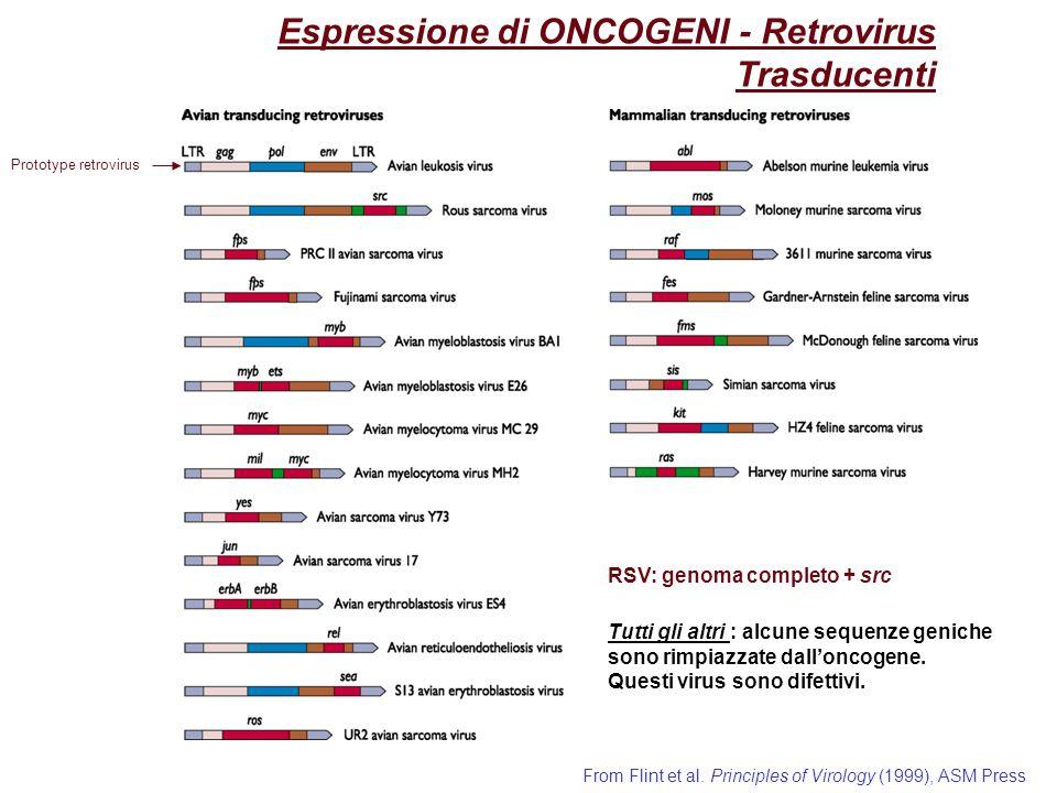 Espressione di ONCOGENI - Retrovirus Trasducenti