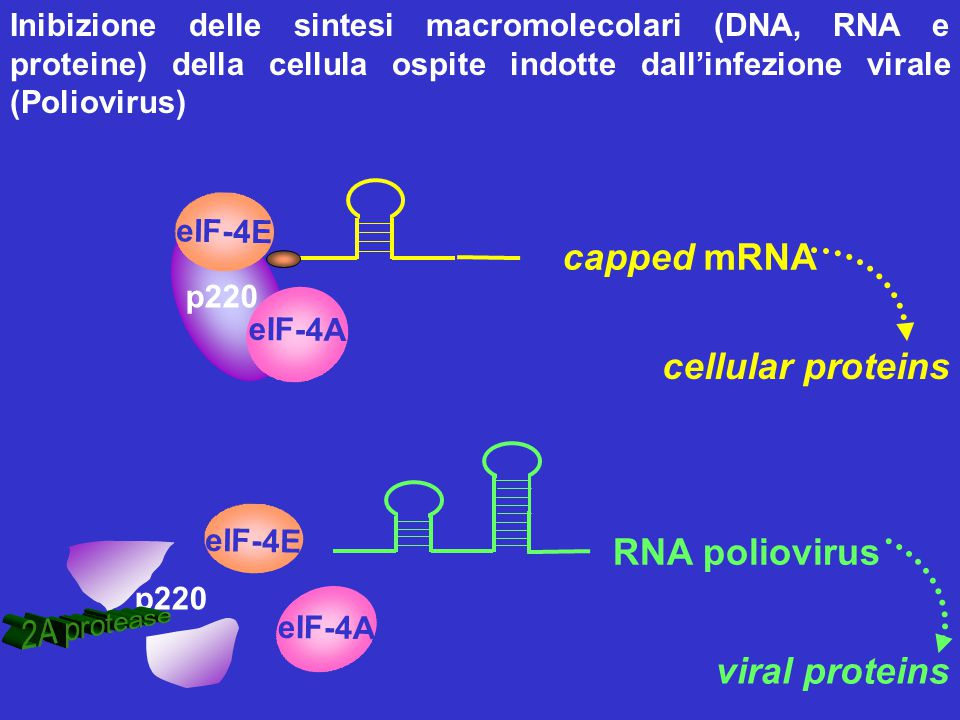 capped mRNA cellular proteins RNA poliovirus viral proteins