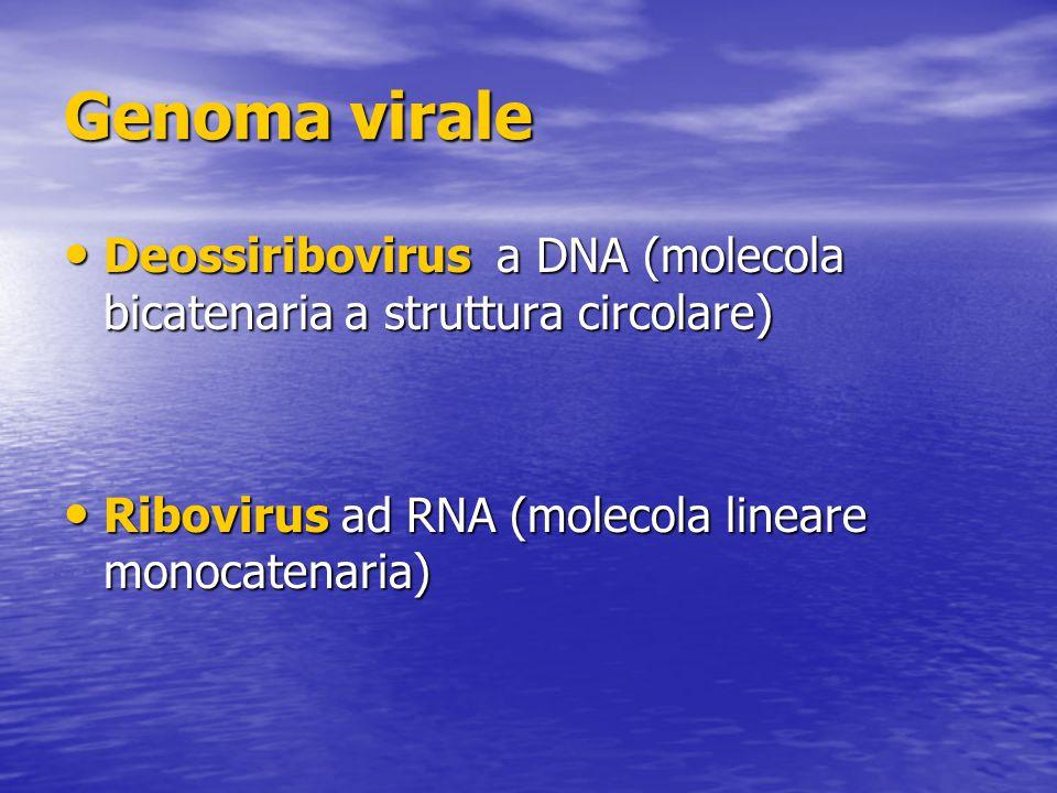 Genoma virale Deossiribovirus a DNA (molecola bicatenaria a struttura circolare) Ribovirus ad RNA (molecola lineare monocatenaria)