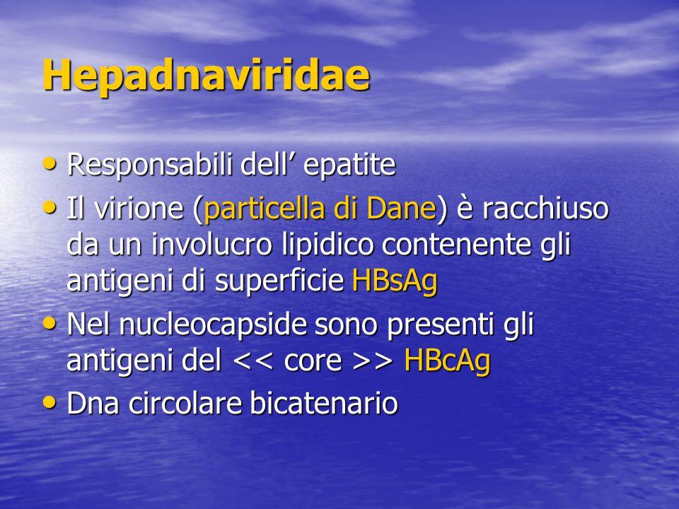 Hepadnaviridae Responsabili dell' epatite