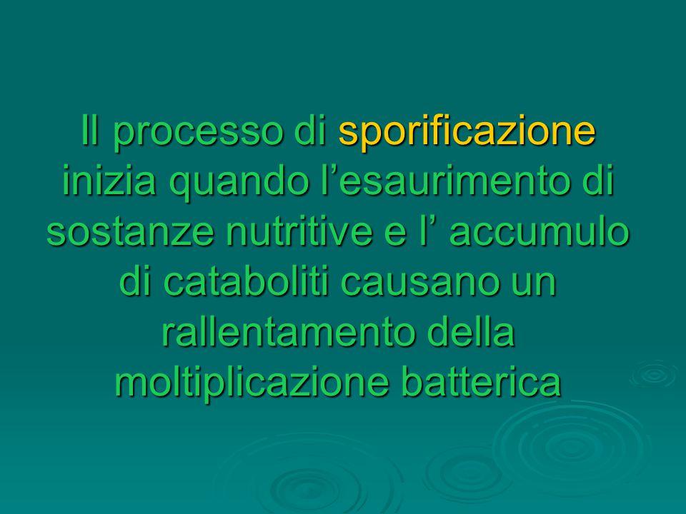 Il processo di sporificazione inizia quando l'esaurimento di sostanze nutritive e l' accumulo di cataboliti causano un rallentamento della moltiplicazione batterica