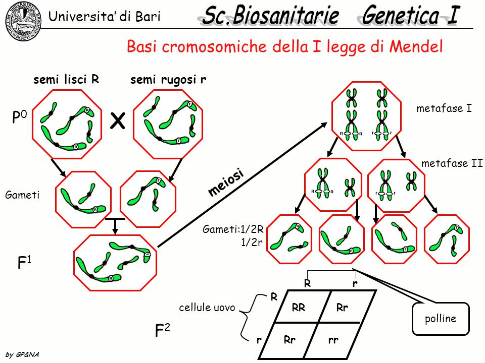 Basi cromosomiche della I legge di Mendel