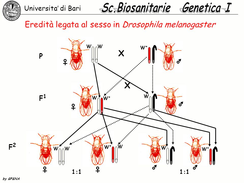 Eredità legata al sesso in Drosophila melanogaster