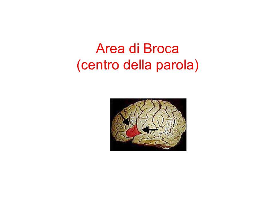 Area di Broca (centro della parola)
