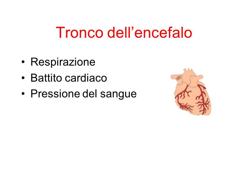 Tronco dell'encefalo Respirazione Battito cardiaco