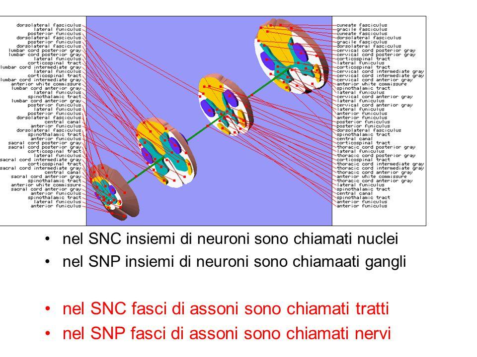 nel SNC fasci di assoni sono chiamati tratti