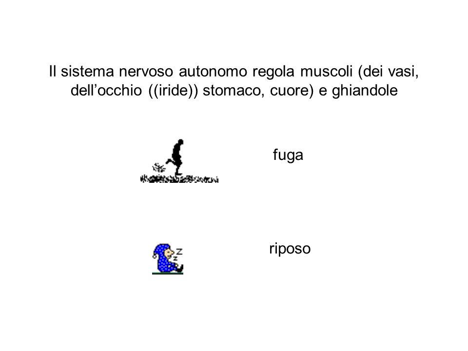 Il sistema nervoso autonomo regola muscoli (dei vasi, dell'occhio ((iride)) stomaco, cuore) e ghiandole