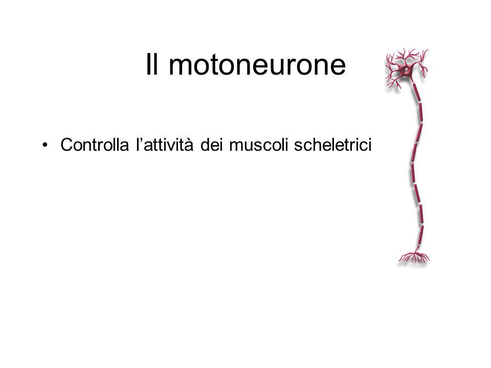 Il motoneurone Controlla l'attività dei muscoli scheletrici