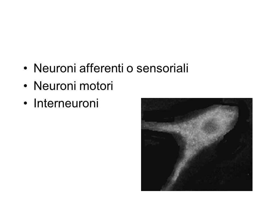 Neuroni afferenti o sensoriali