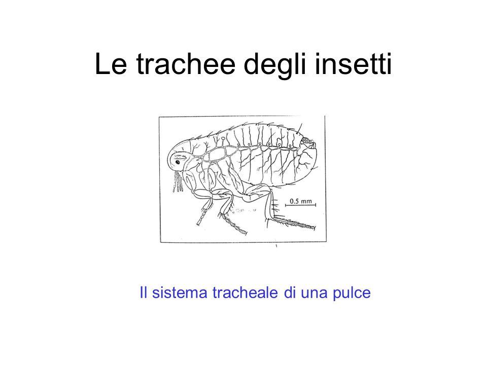Le trachee degli insetti