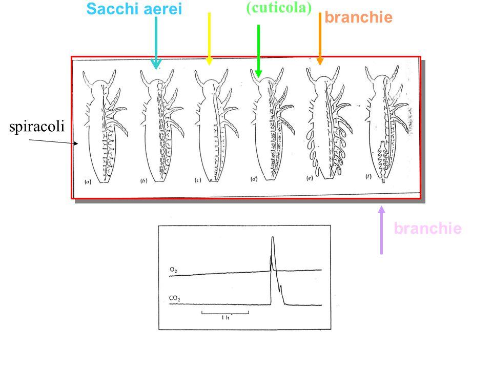 Sacchi aerei (cuticola) branchie spiracoli branchie