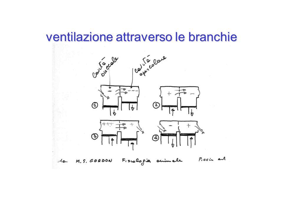 ventilazione attraverso le branchie