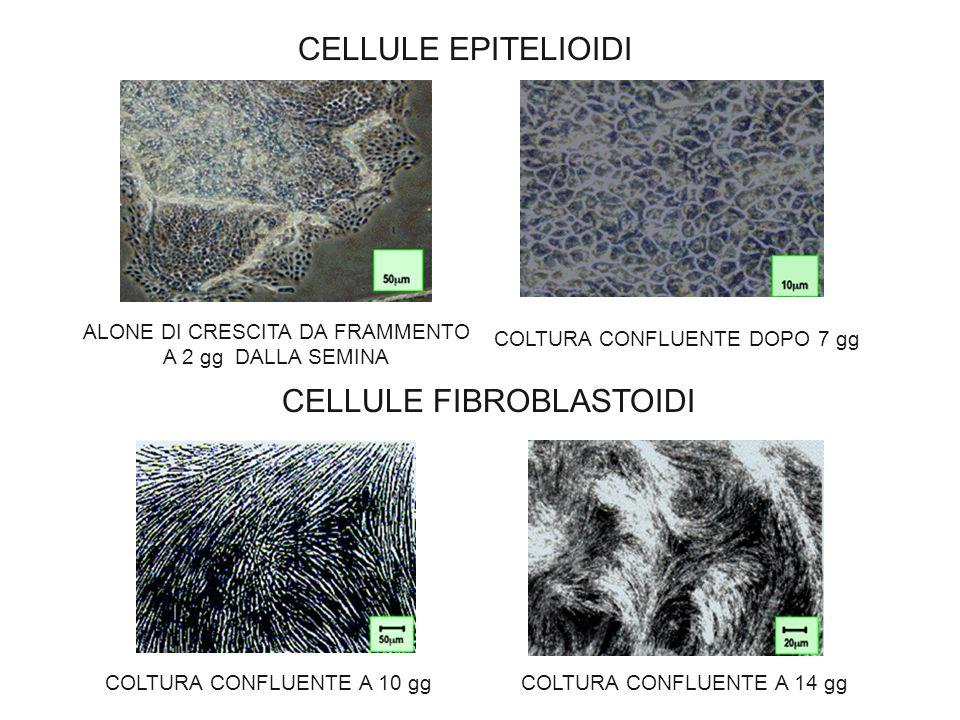 CELLULE FIBROBLASTOIDI